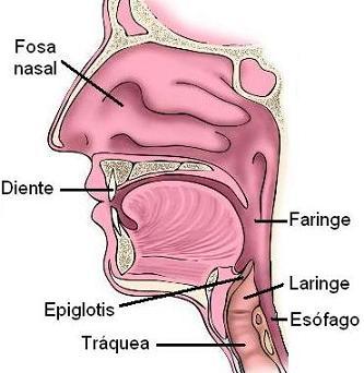 boca-epiglotis-mod